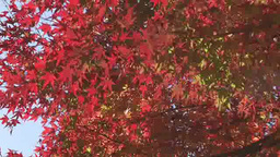 Japanese maple leaves in autumn Footage