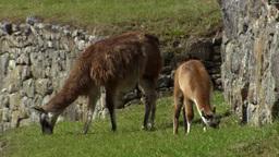 Llama eating grass in Machu Picchu, Peru Footage