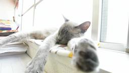 踏まれても起きない熟睡中のグレーのネコ Footage