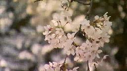 桜のアップ Footage
