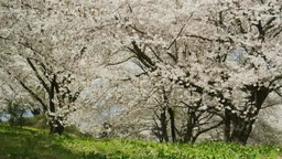 桜吹雪 Footage