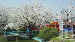 臥竜公園の桜 影片素材