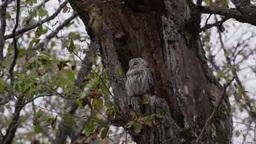エゾフクロウ Strix uralensis coreensis Footage