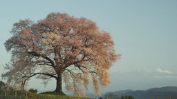 わに塚の一本桜 Footage