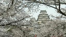 姫路城と桜 影片素材