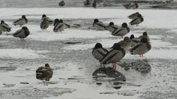 大沼の雪景色と鴨 Footage