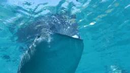 セブ島オスロブのジンベエザメ Footage