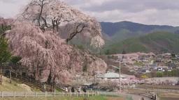 高遠城址公園を背景に勝間薬師堂のしだれ桜 Footage