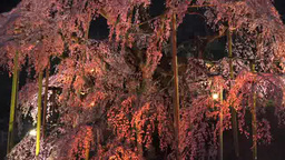 三春の滝桜 영상물