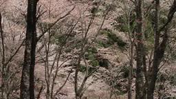 桜の遠景 影片素材