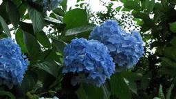 青いアジサイ Footage