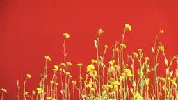 赤バックに菜の花 Footage
