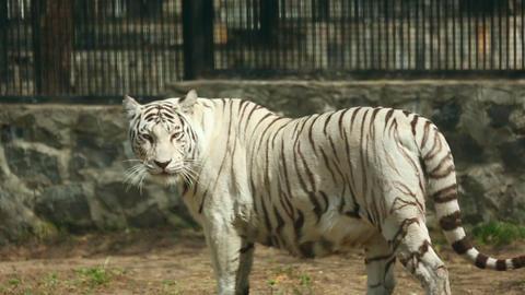 White tigress Footage
