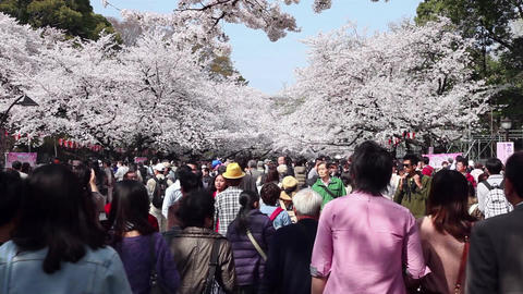 13of 23 People , crowd , tourists , cherry blossom , Ueno Park , Tokyo , Japan Footage