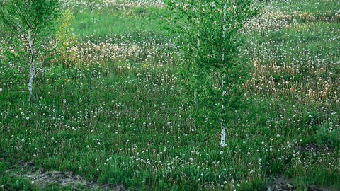Meadow with dandelions Stock Video Footage