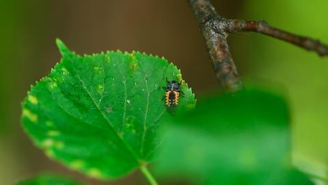 Ladybug larva Stock Video Footage