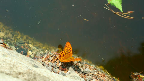 Orange butterfly Stock Video Footage