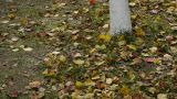 falling yellow leaves on ground behind trunk Footage