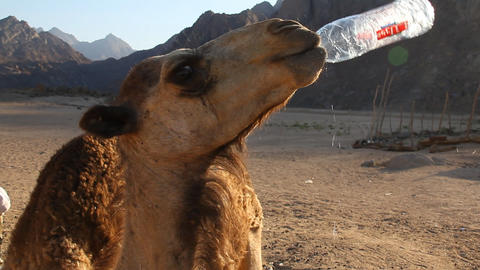 camel drinks water Footage