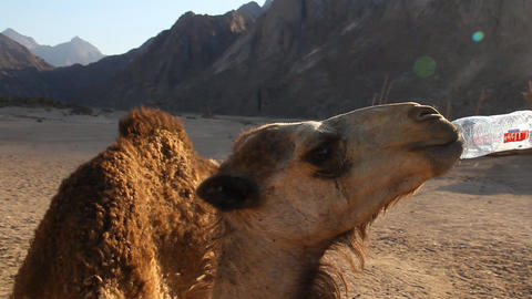 camel drinks water Stock Video Footage