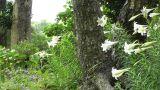 Japanese Garden 01 Footage