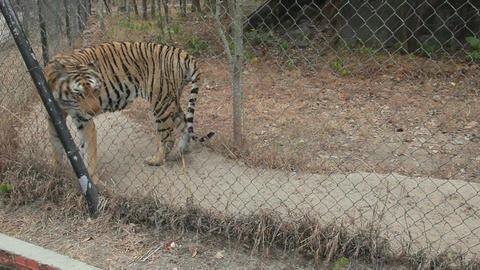 8of 10 Cambodia , Asia , Phnom Tamao zoo , park , wildlife , animal , tiger Footage