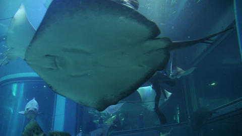 9of 10 Scuba diver feeding fish , sharks , stingrays , Osaka Aquarium , Japan Footage