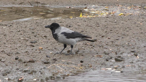 Grey Crow (LAT. Corvus cornix) or Hoodie Footage