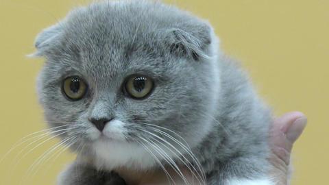 British lop-eared kitten Footage