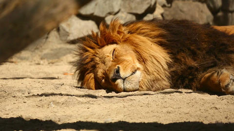 Resting lion Footage