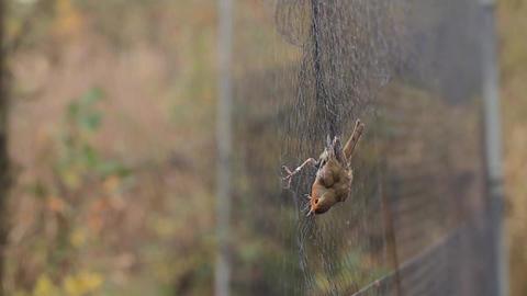 Robin caught in a mist net Footage