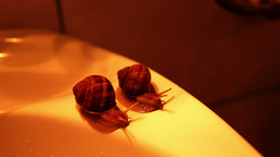 Pair of snails on the edge of the bathroom sink. Snails race Footage