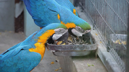 Parrots Eating Seeds Footage