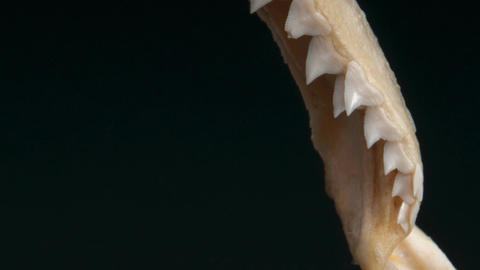 Jaw of a Great Shark Showing a Close-Up of Teeth Live Action