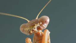 Mantis Glamorous Portrait Close-Up Live Action