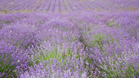 Big field with the blossoming lavender in summer day Footage