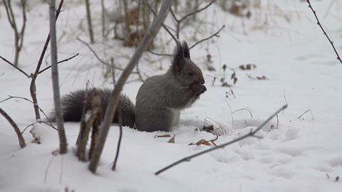 Squirrel eating food on the snow Footage