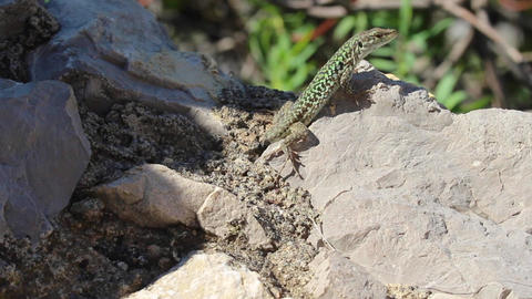 Lizard sunbathing on rock Footage