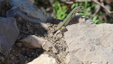 Lizard sunbathing on rock Footage