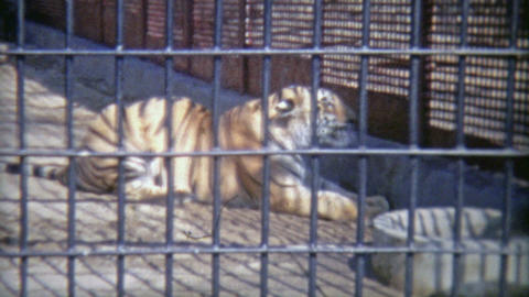 1973: Bengal Tiger In Confined Zoo Cell stock footage