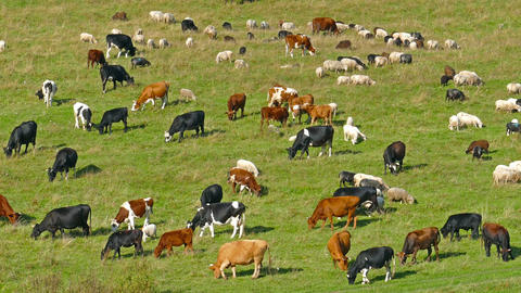 Herd Of Cows And Sheep Grazing On Meadow stock footage