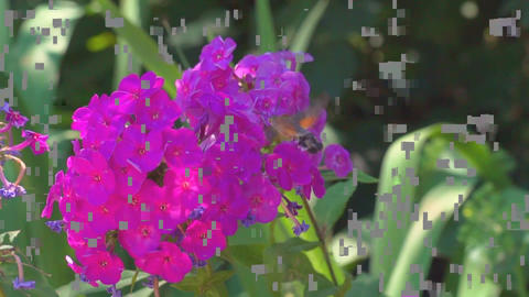 Hyles Butterfly Collects Nectar On Flowers Slo-Mo Footage