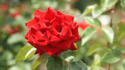 Simple Red Rose stock footage