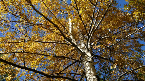 birch against the sky in the autumn 2015 Footage