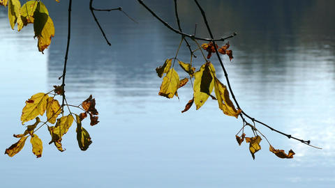 Yellow leaves in autumn on a background of water Footage