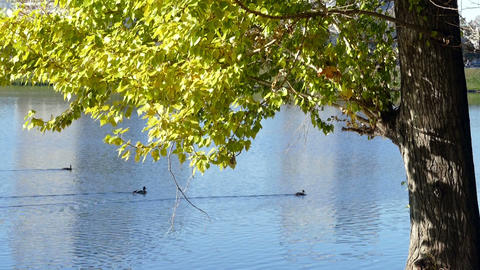 Tree with leaves and a pond with ducks in autumn Footage