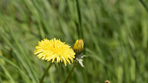 Close up of a yellow dandelion flower Footage