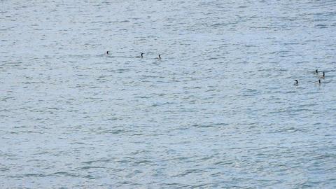 Seascape with cormorants Footage