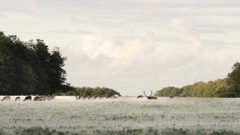 Red deer,Cervus elaphus Footage