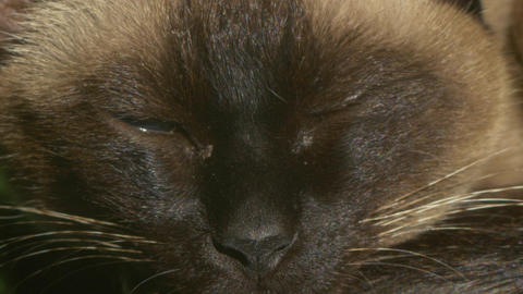Siamese cat sleeping macro Footage